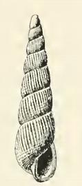 <i>Turbonilla ceralva</i> species of mollusc