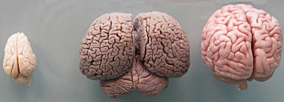 File:Tursiops truncatus brain size modified.JPG - Wikimedia Commons