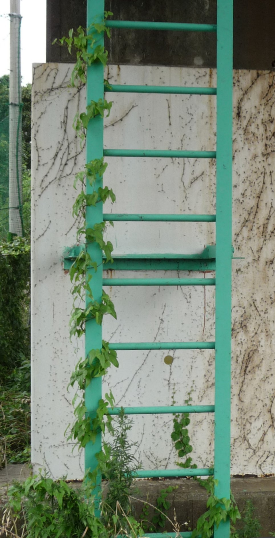 Vine twining around a steel fixed ladder