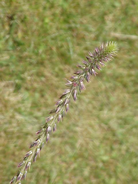 Achyranthes aspera1.jpg © Commons