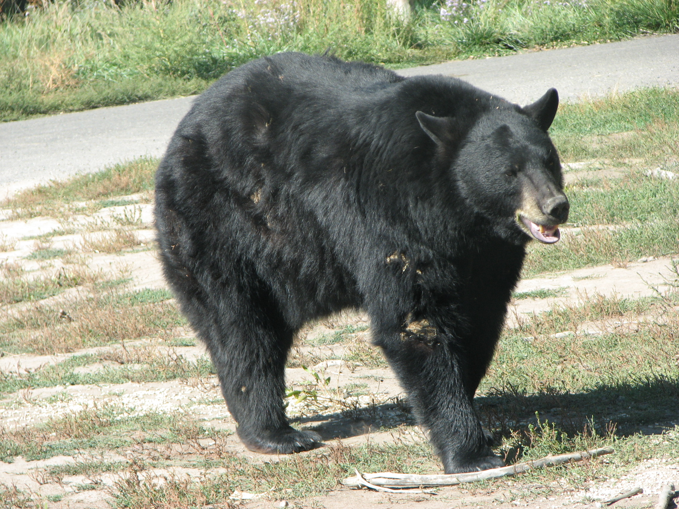 Description American Black Bear.JPG