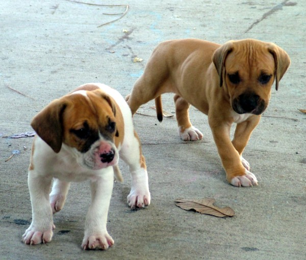 File:American Bulldog puppies.jpg - Wikimedia Commons