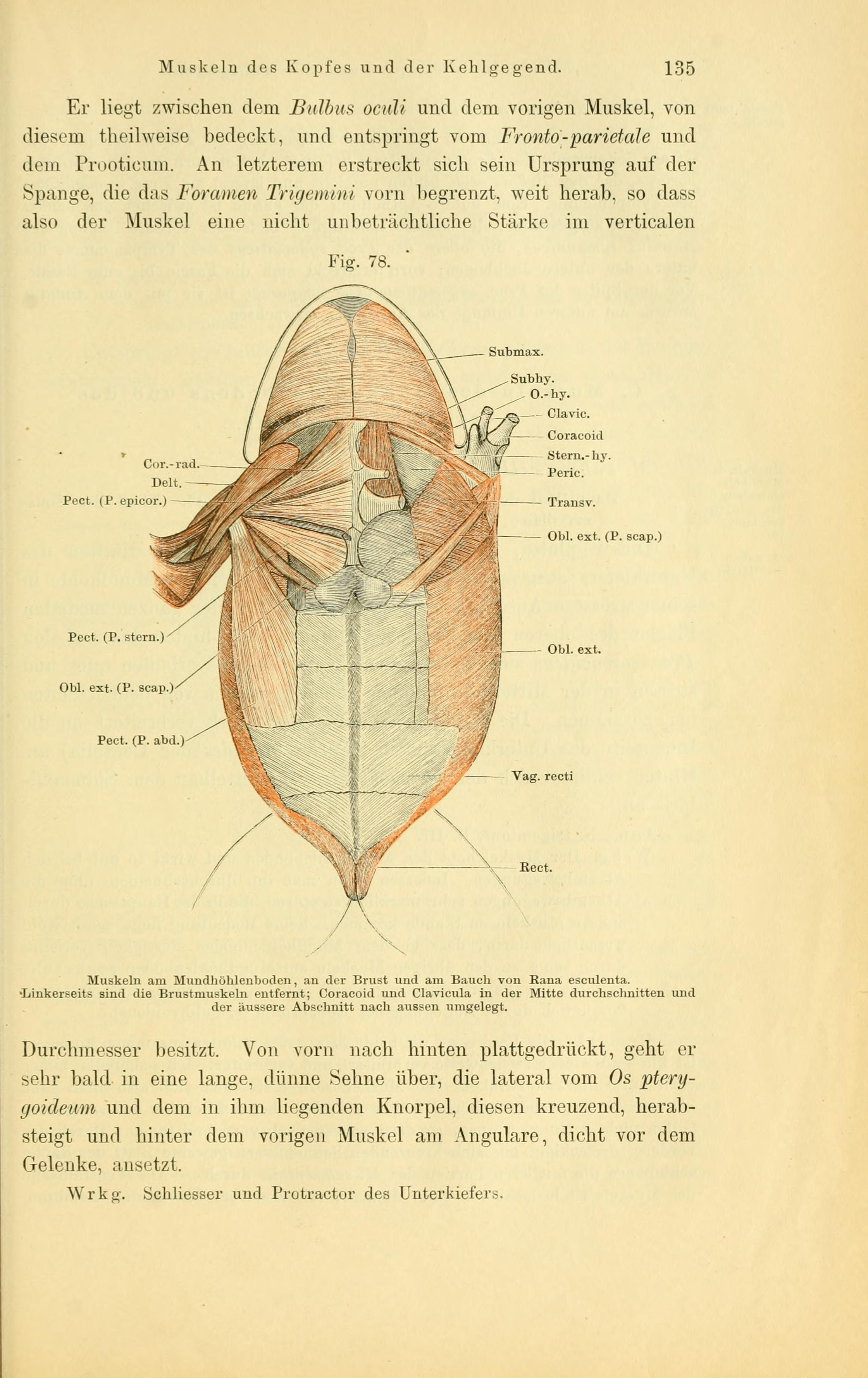 File:Anatomie des Frosches (Page 135, Fig. 78) BHL4404734.jpg ...