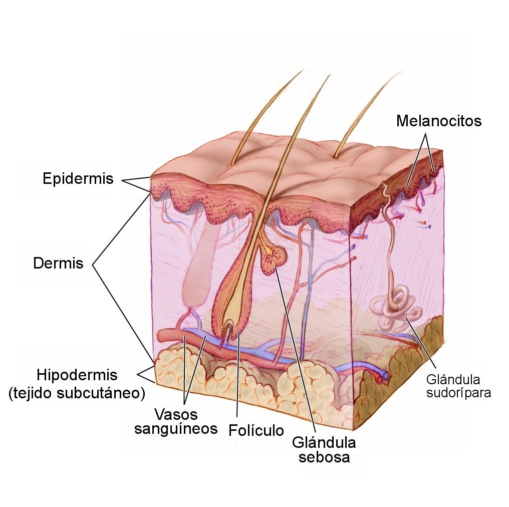 Anatomy The Skin - NCI Visuals Online esp.jpg
