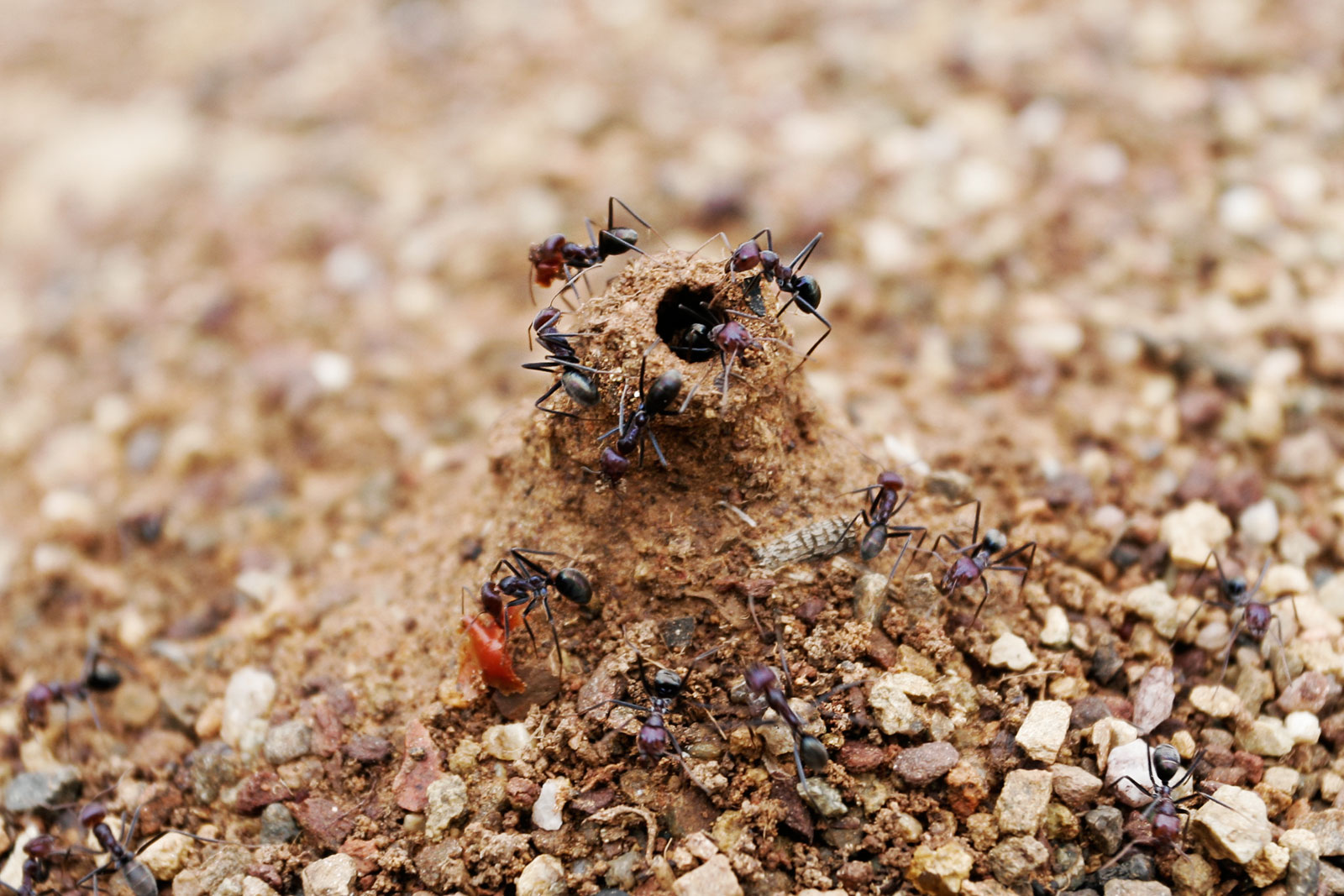 Ant mound holes prevent water from entering the nest during rain.
