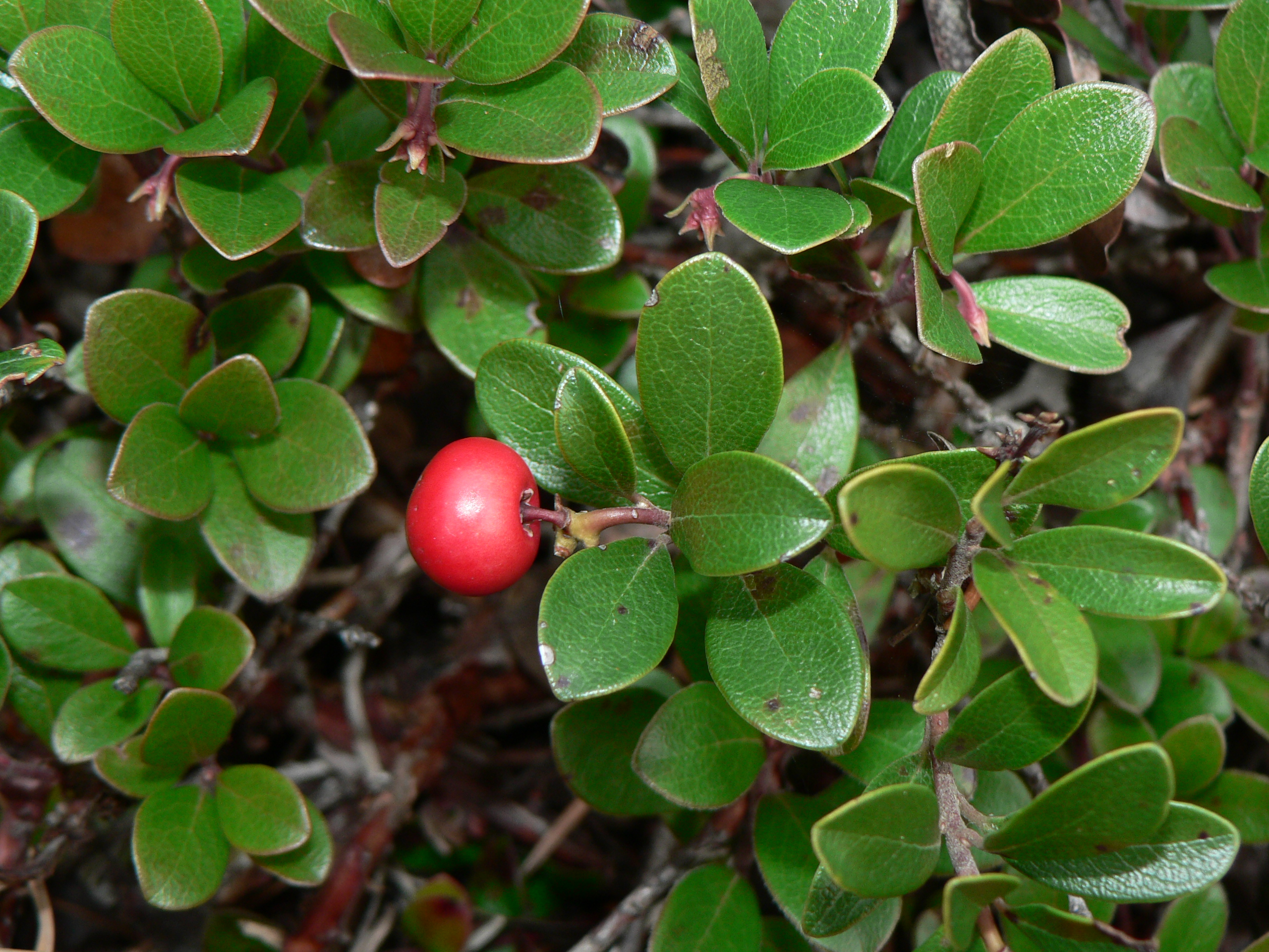Description Arctostaphylos uva-ursi 28284.JPG