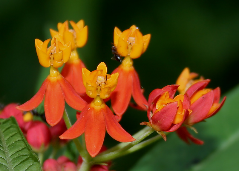 File:Asclepias curassavica (Mexican Butterfly Weed) W2 IMG 1454.jpg