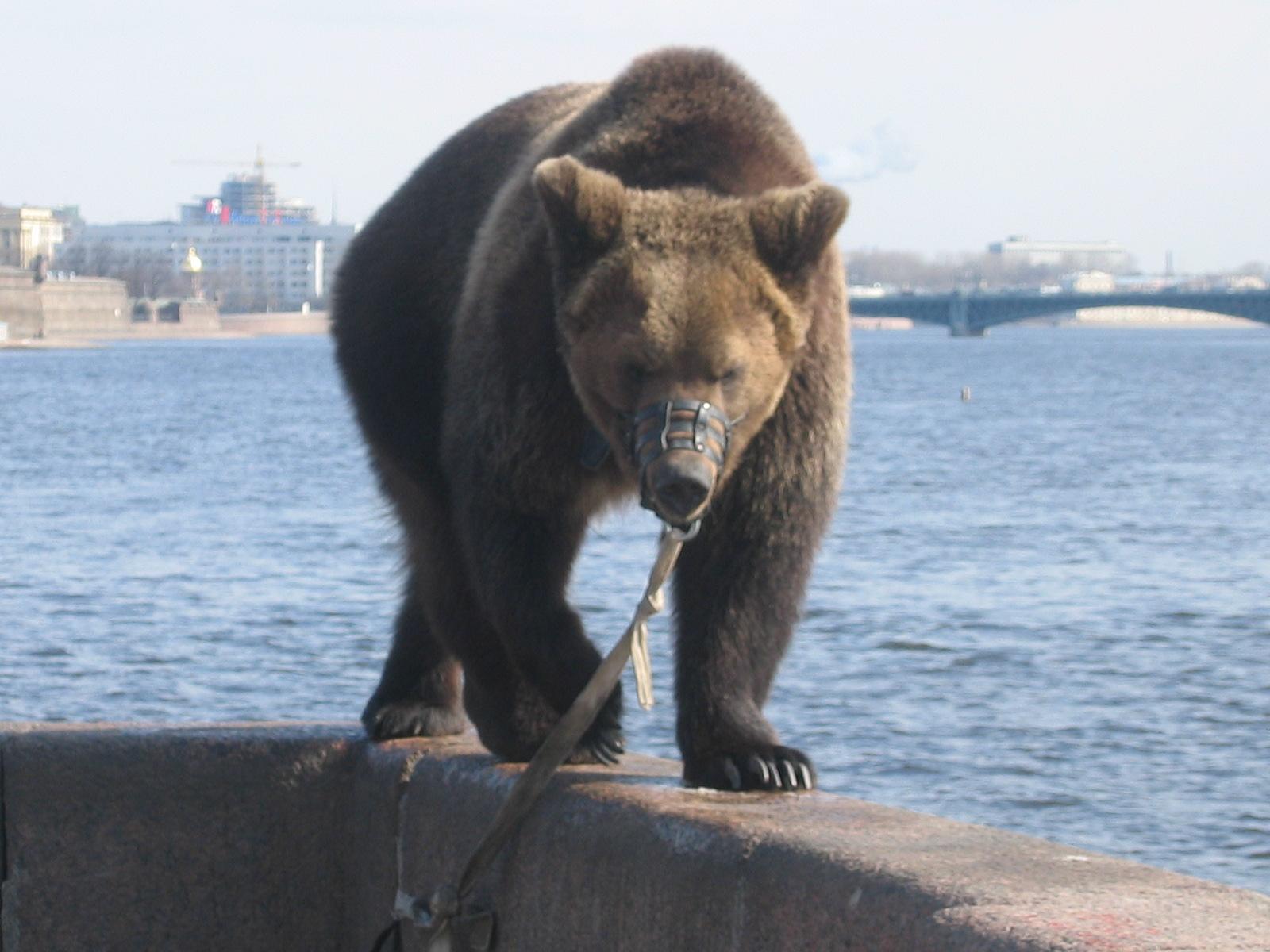 file bear ursus arctos in st petersburg april 2005 jpg duolingo