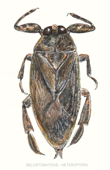 http://upload.wikimedia.org/wikipedia/commons/3/33/Belostomatidae-heteroptera.jpg?uselang=fr
