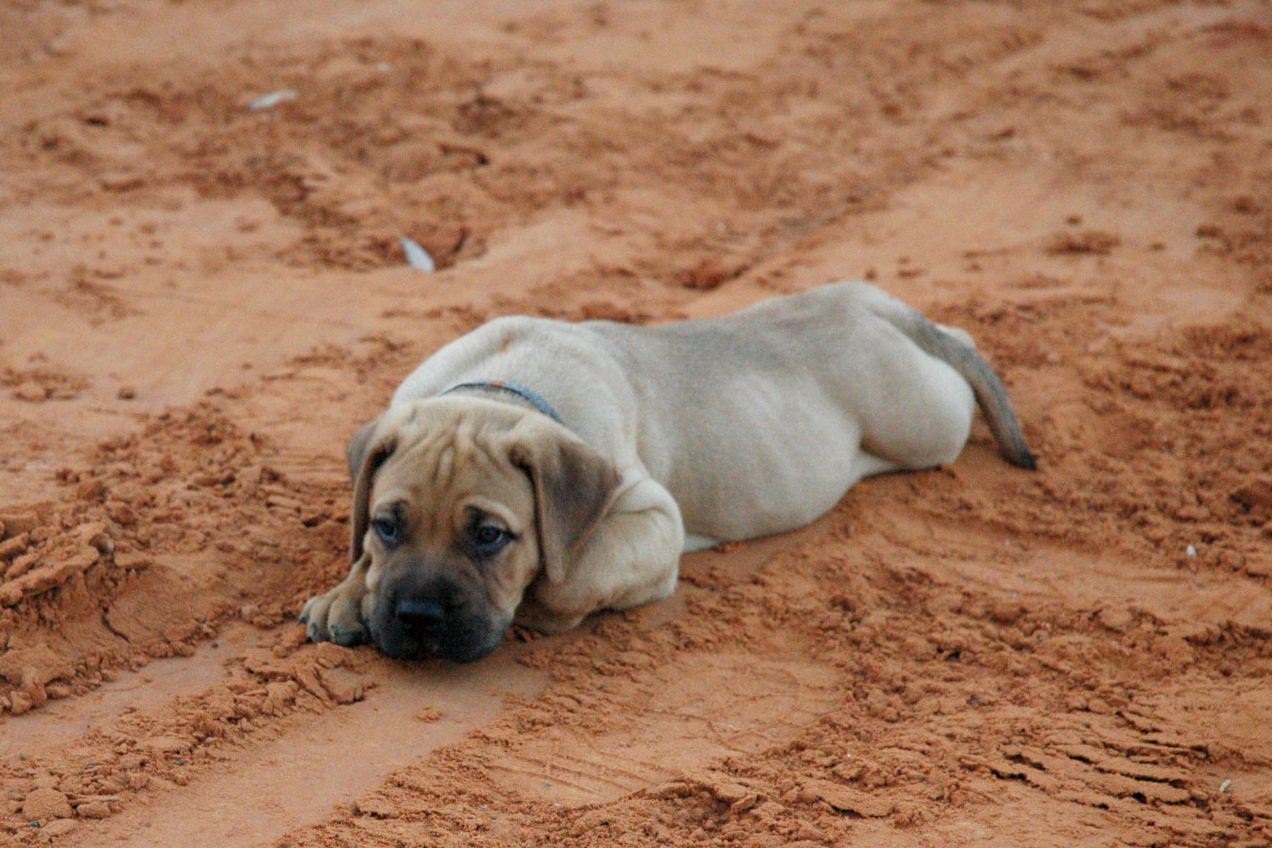 File:Bullmastiff puppy.jpg - Wikipedia
