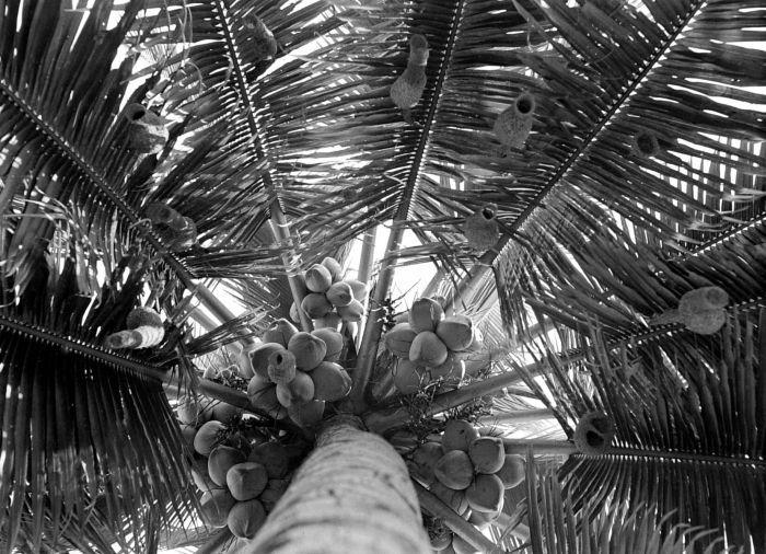 File:COLLECTIE TROPENMUSEUM Nesten van wevervogel (Ploceus manyar manyar ) TMnr 10006534.jpg
