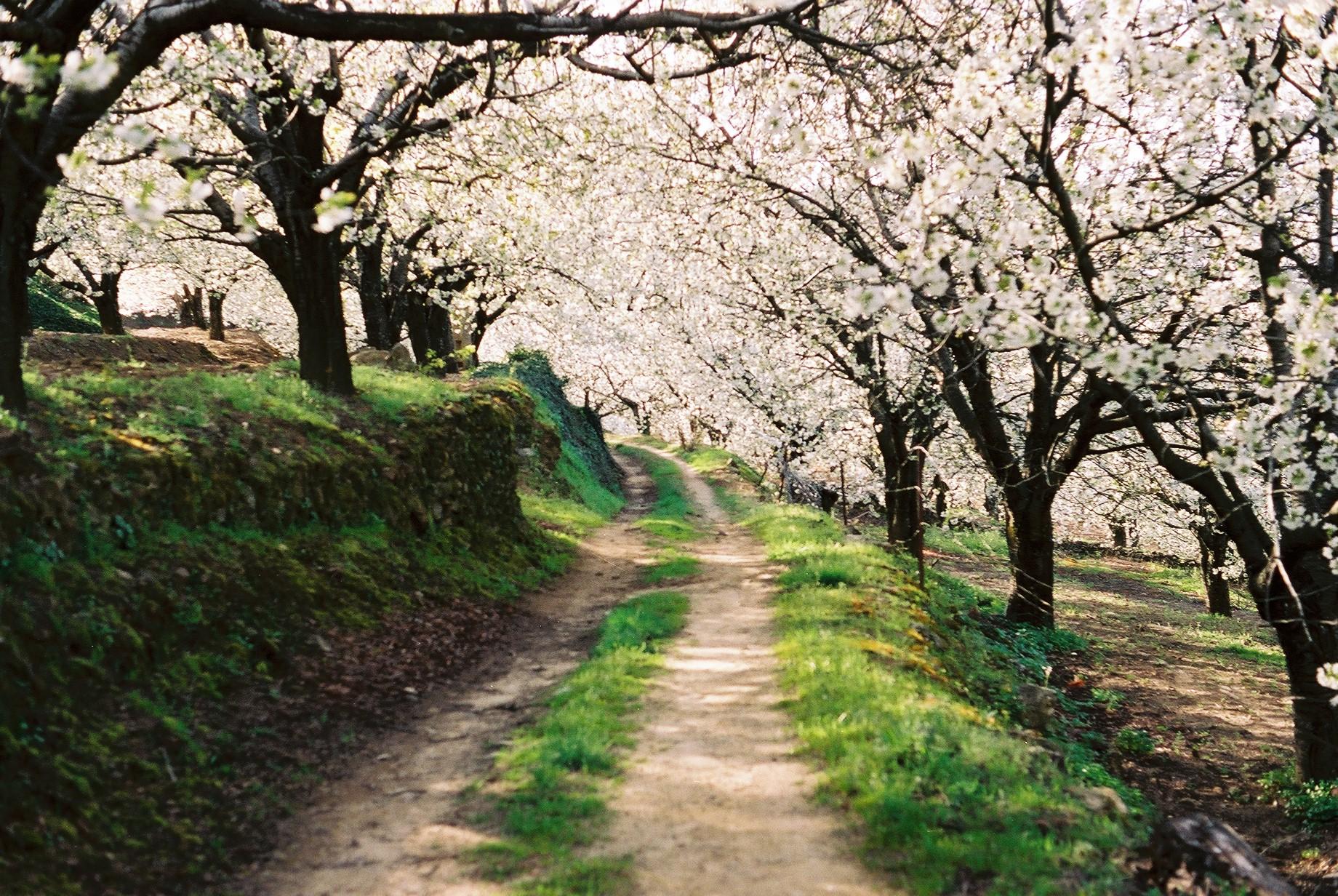 Camino entre el bosque de cerezos en flor © victor estrada diaz