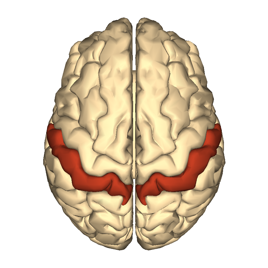 File Cerebrum Postcentral Gyrus Superior View Png Wikimedia Commons This video is about postcentral gyrus. https commons wikimedia org wiki file cerebrum postcentral gyrus superior view png