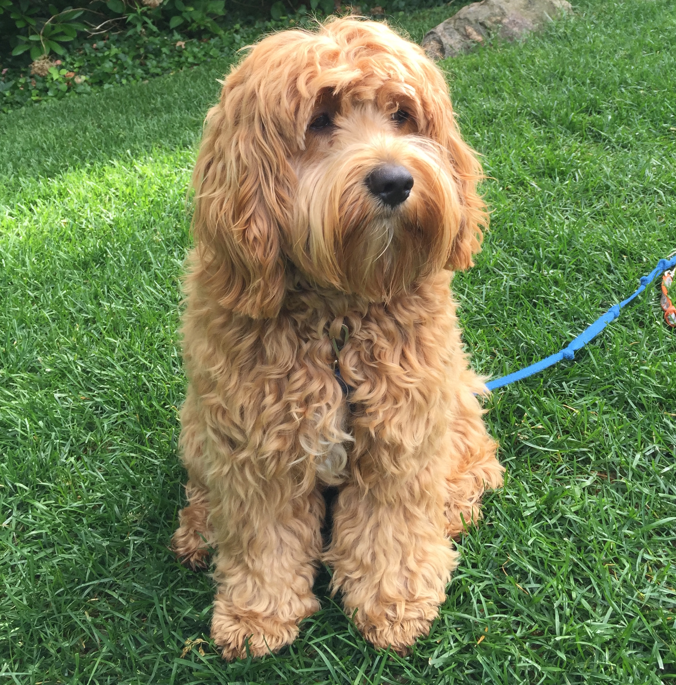 Cavapoo Dogs For Sale In Pa