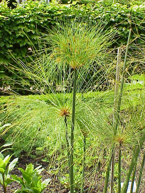 Cyperus papyrus wikipedia for Vegetacion ornamental