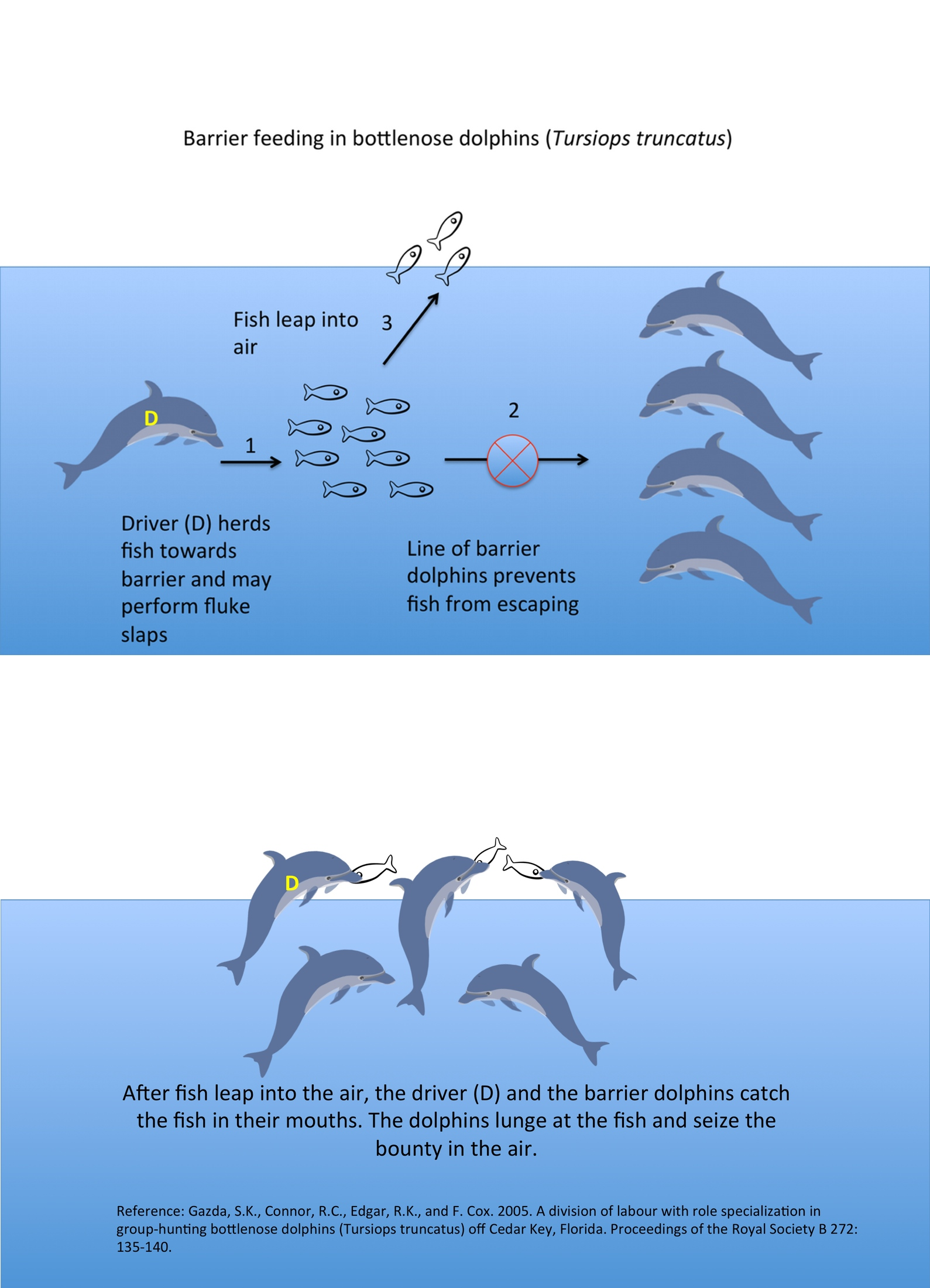 an analysis of mirror self recognition in bottlenose dolphins In comparing the emergence of mirror self-recognition in chimpanzee infants and  human infants  the meaning of self-recognition as measured by the mark test   dolphins (marino, reiss, & gallup, 1994), and notably monkeys do neither ( anderson & gallup  1999 inoue  mirror self-recognition in bottlenose dolphins.