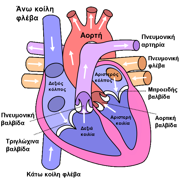 Filediagram of the human heart cropped elg wikimedia commons filediagram of the human heart cropped elg ccuart Images