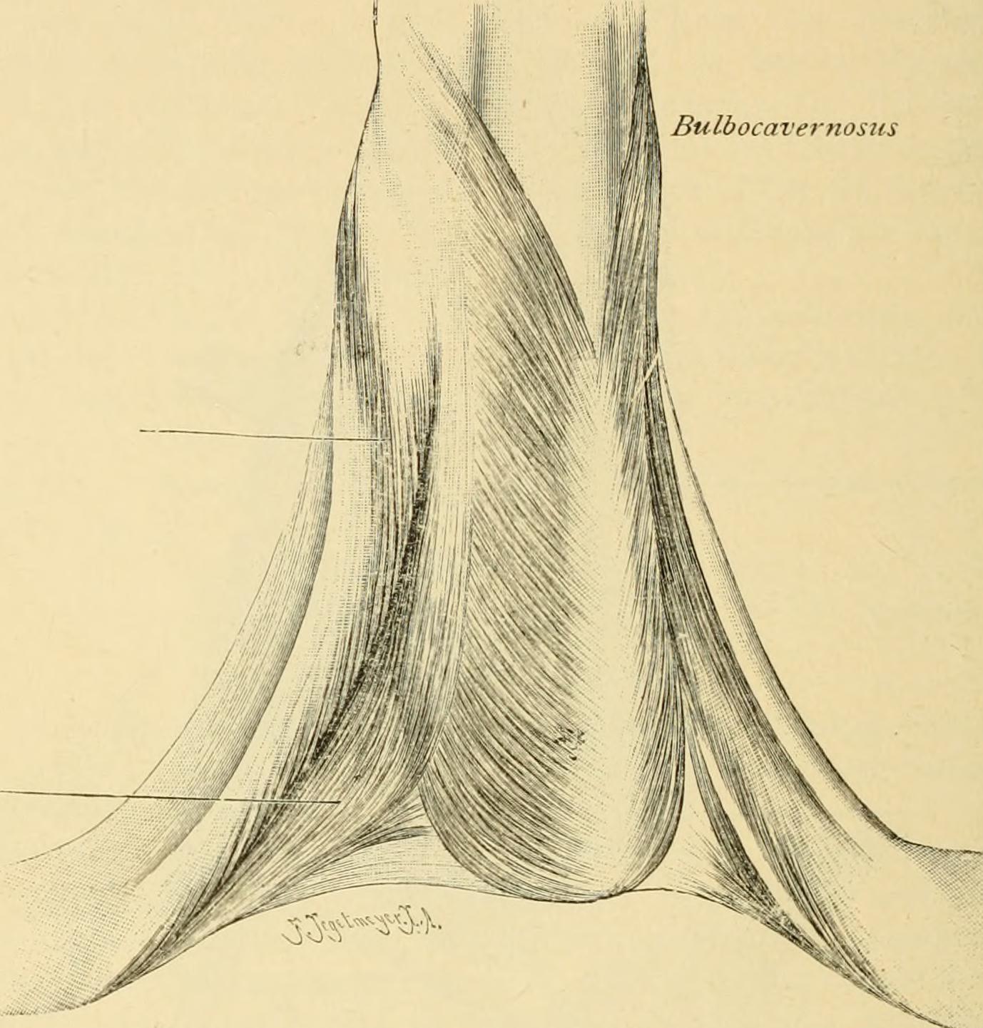 File:Die männlichen Geschlechtsorgane (1904) (14803003303).jpg ...