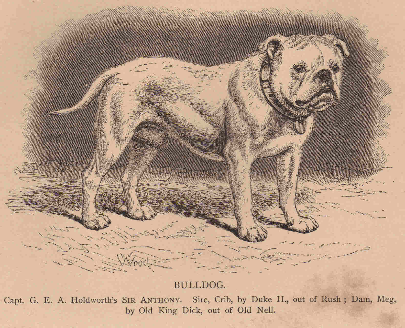 File:English Bulldog Sir Antony.jpg - Wikimedia Commons