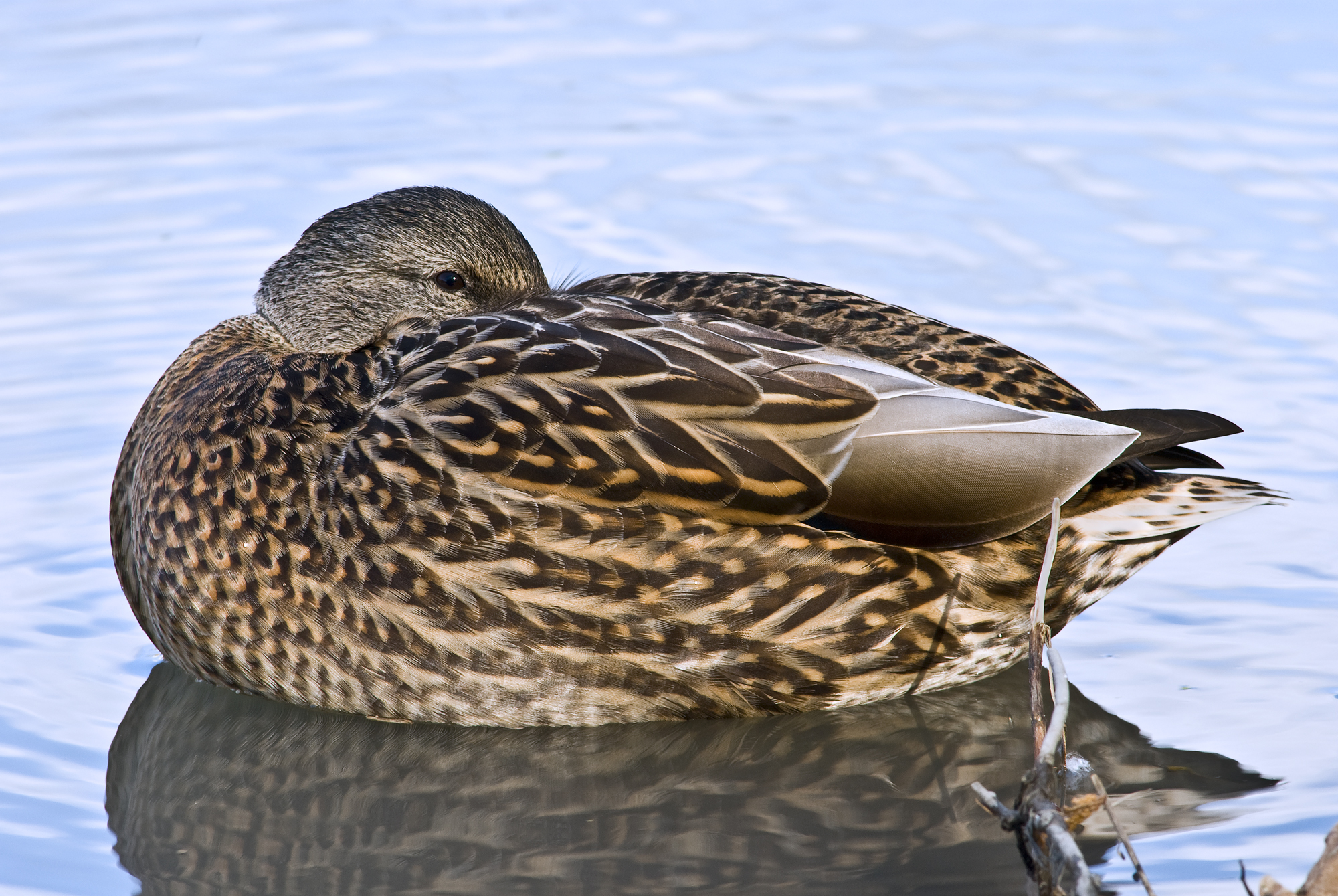 File Female Mallard Duck Rest Jpg Wikimedia Commons
