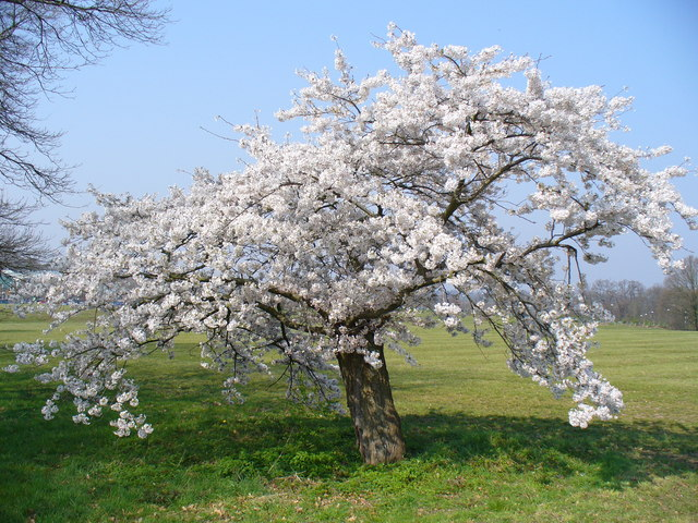 File:Flowering Cherry Tree, Stoke Park - geograph.org.uk ...