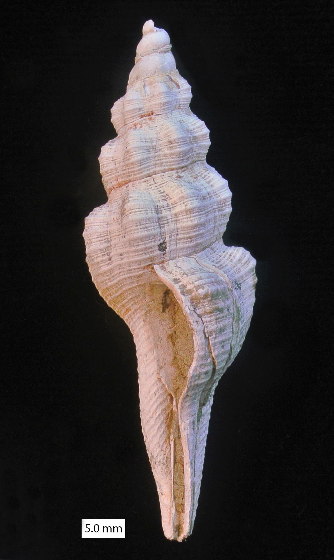 fusinus cyprus pliocene.jpg