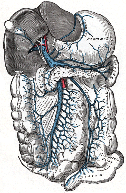 portal vein - wikipedia, Sphenoid
