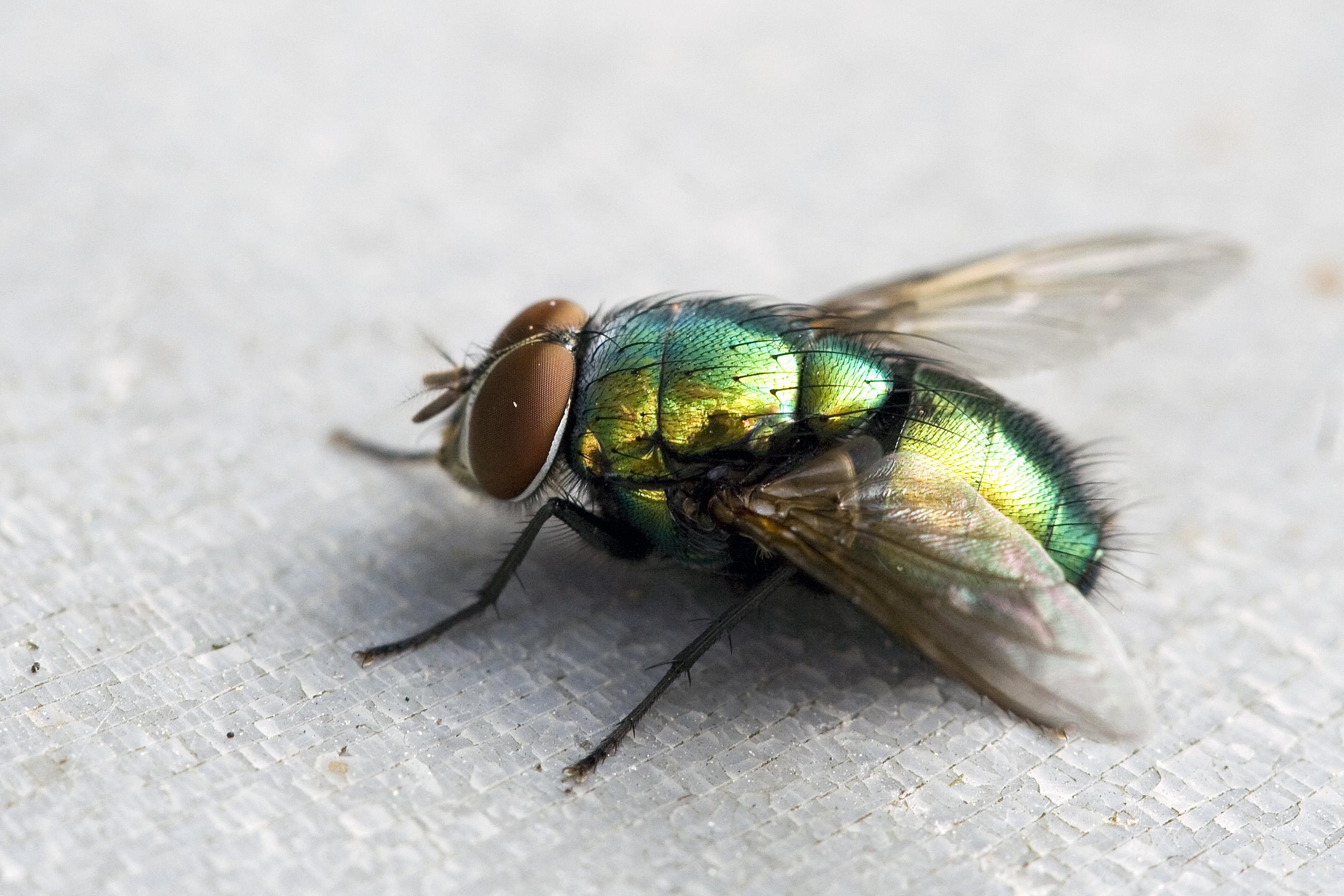 File:Green Fly.jpg - Wikimedia Commons