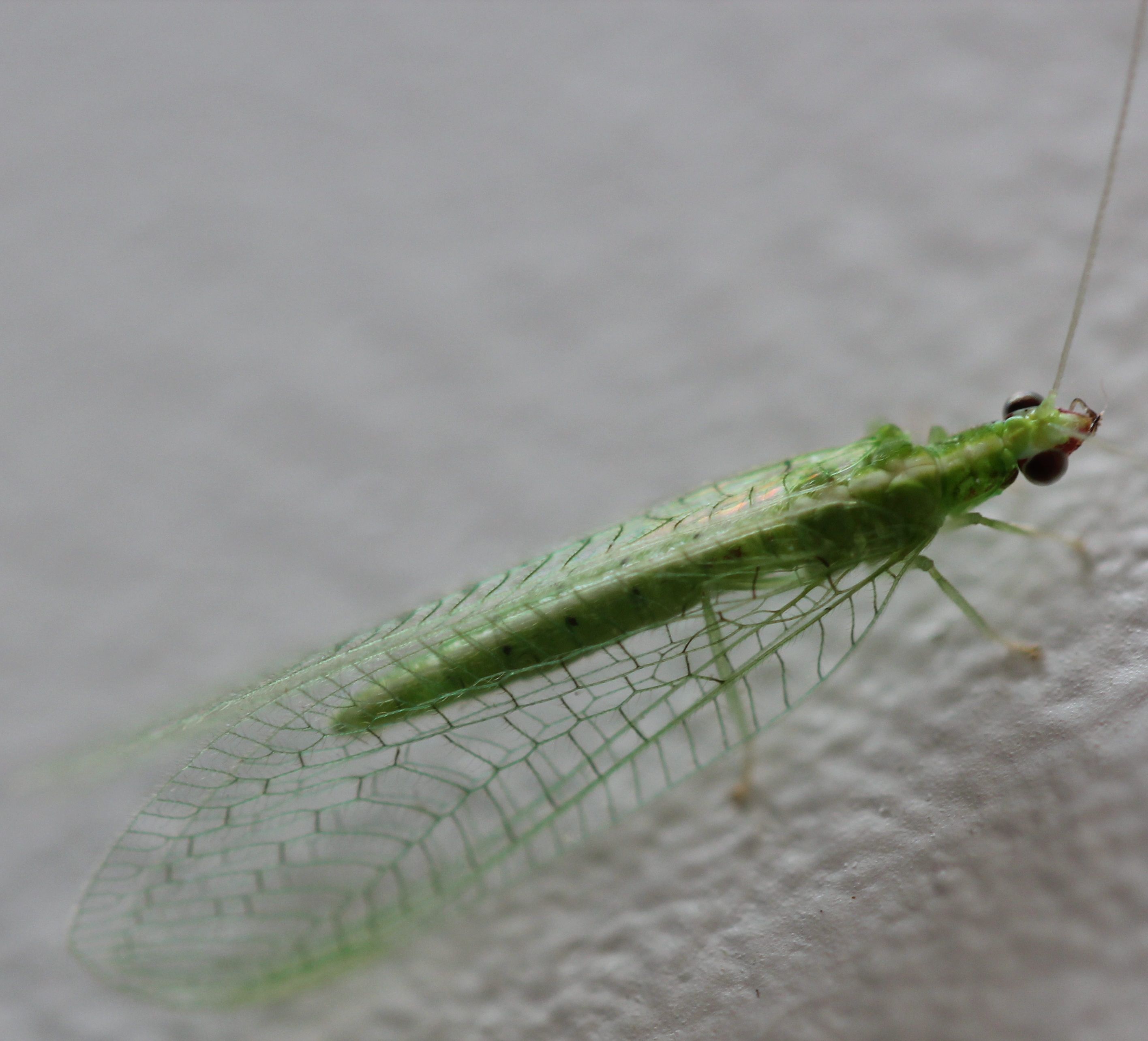 File:Green Lacewing Insect.jpg
