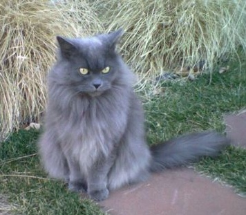 Gray Longhair Cat With Orange Eyes