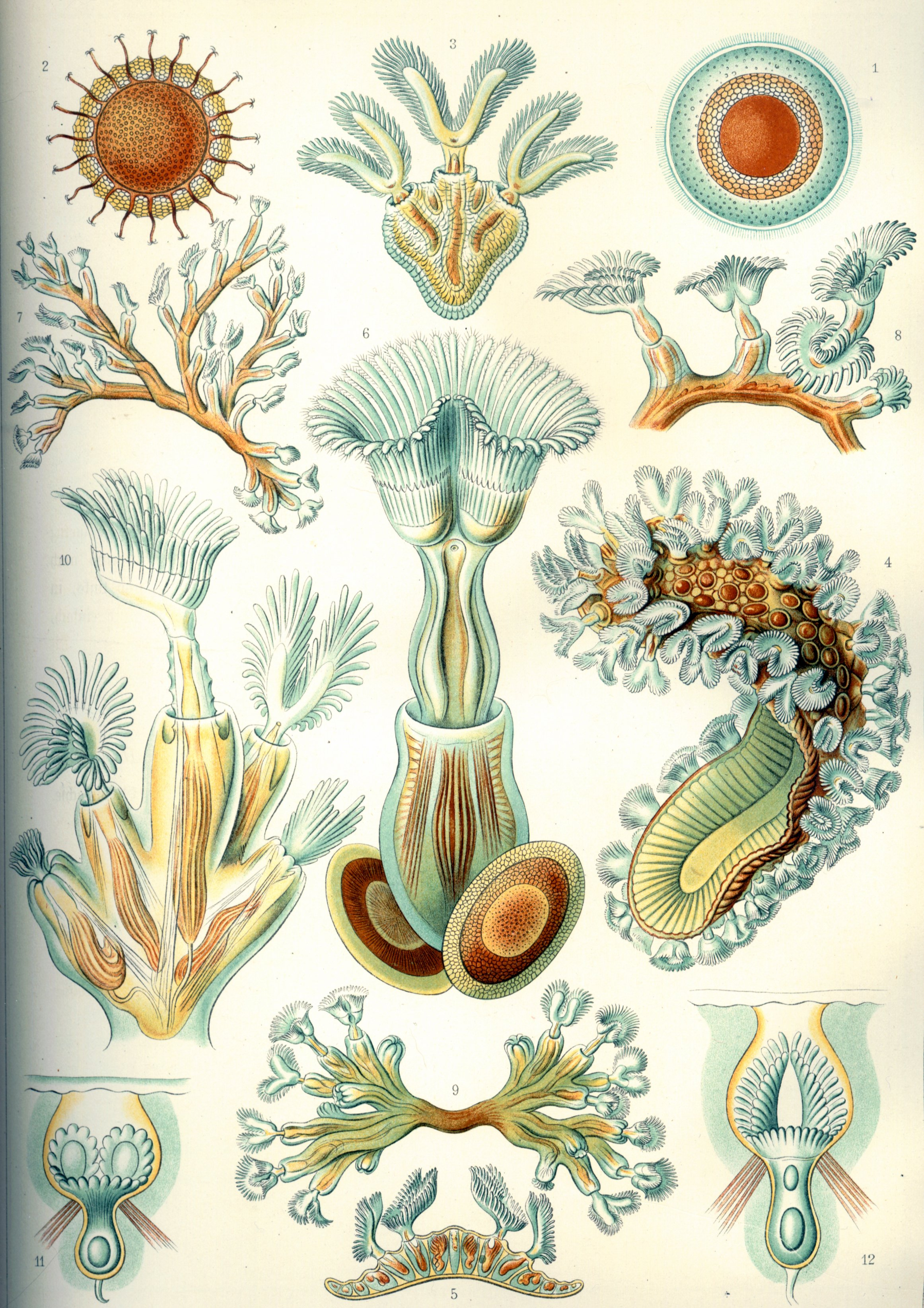 Depiction of Bryozoa