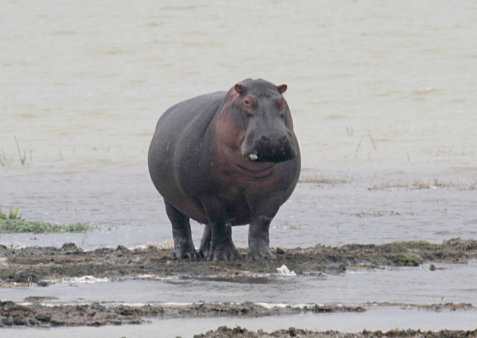 K Lite Hippo File File:Hippo walking.jpg...