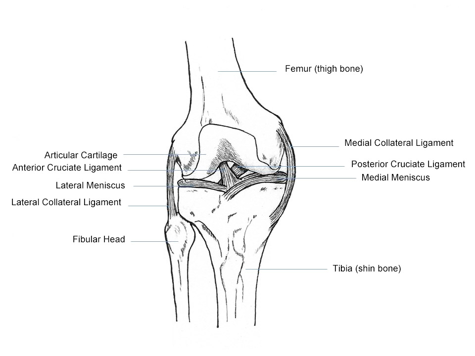 Filehuman Knee Anatomyg Wikimedia Commons