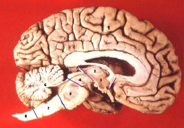 Längdsnitt av en mänsklig hjärna. 1 – Storhjärna; 2 –Thalamus; 3 –Hypothalamus; 4 –Mitthjärna; 5 –Hjärnbrygga; 6 –Lillhjärna; 7 – Förlängda märgen; 8 – Ryggmärg.
