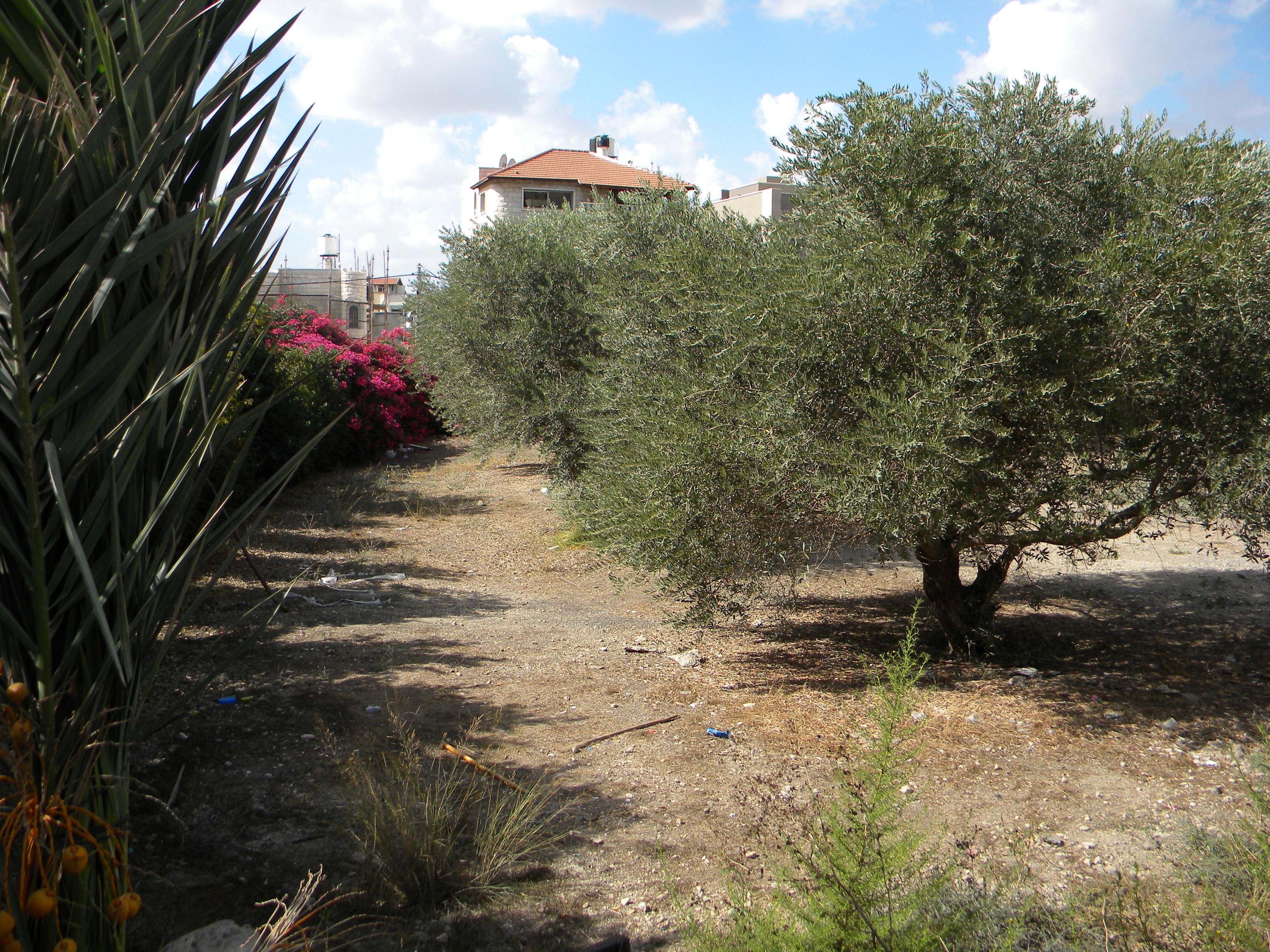 File:ISRAEL, Cana Galilei (Kafr Kanna) (Olive garden).JPG ...