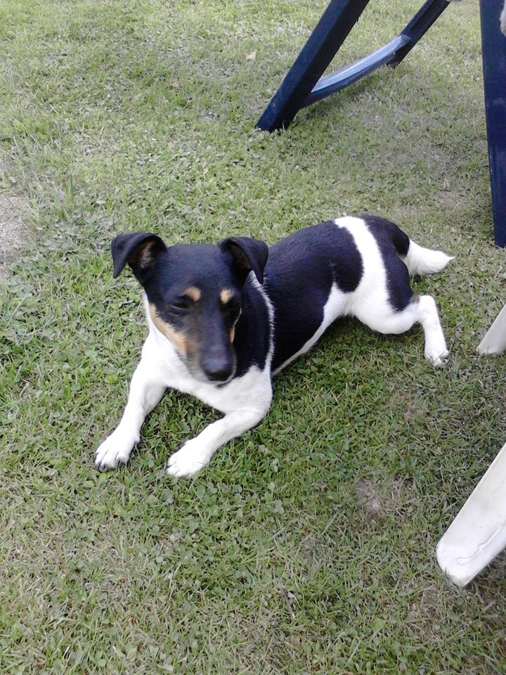 jackrussel mix