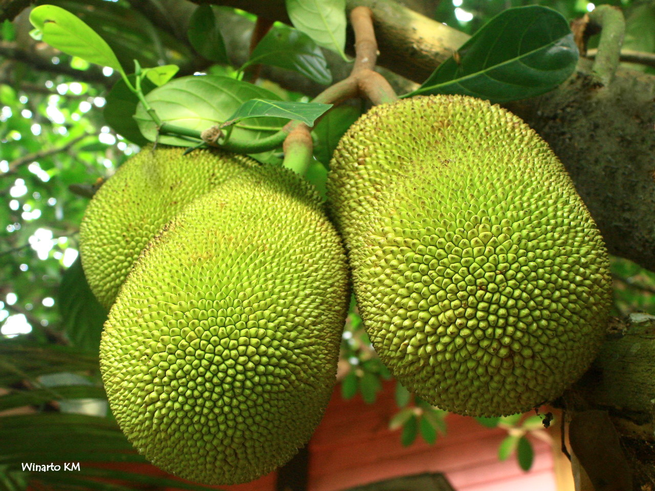 波羅蜜果。取自 Wikimedia Common https://commons.wikimedia.org/wiki/File:Jackfruit_wkm_2.jpg