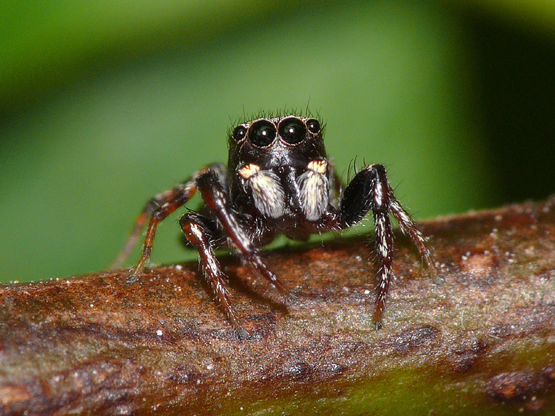 IMAGE(http://upload.wikimedia.org/wikipedia/commons/3/33/Jumping-spider.jpg)