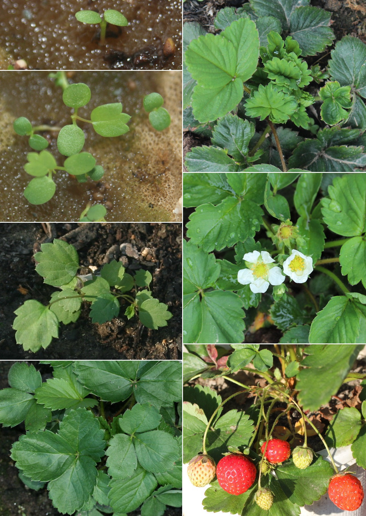 File:Life_cycle_of_Fragaria_%C3%97_ananassa on Plant Life Cycle Stages