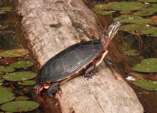Male Painted Turtle For Sale