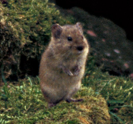 The average litter size of a Singing vole is 3