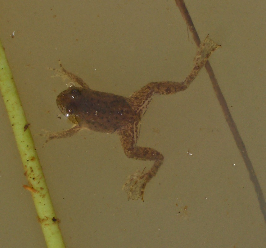 Green puddle frog - Wikipedia