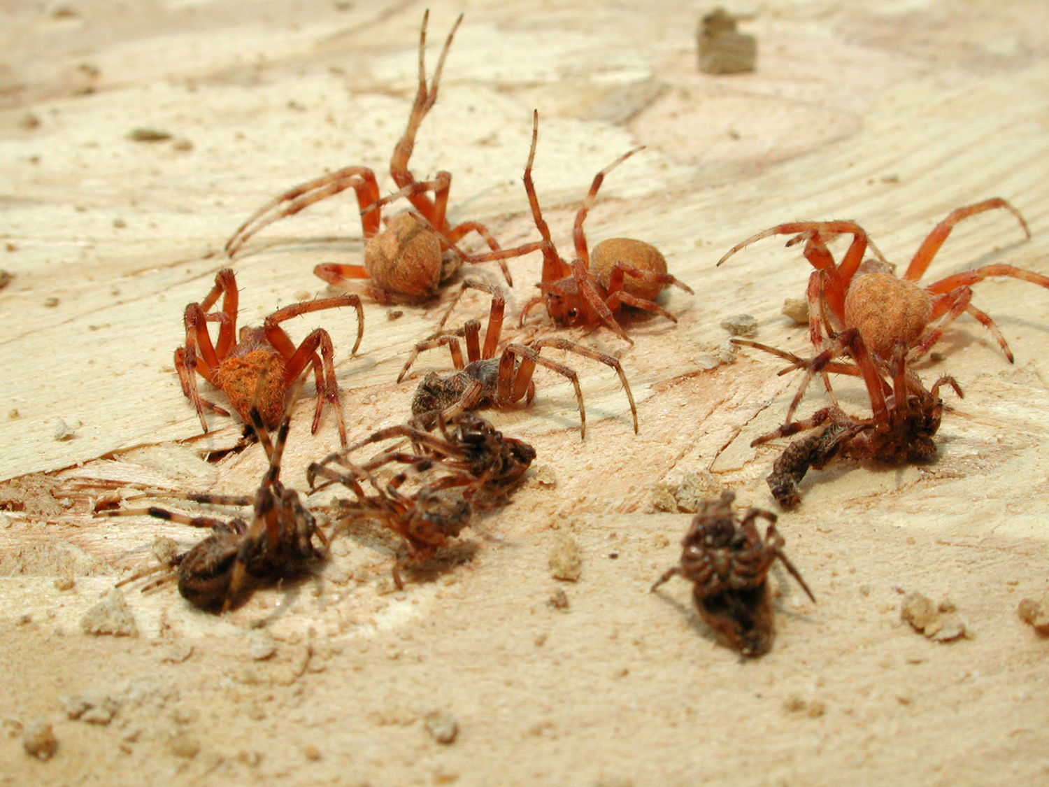 file paralyzed spiders extracted from nest cell of organ pipe mud