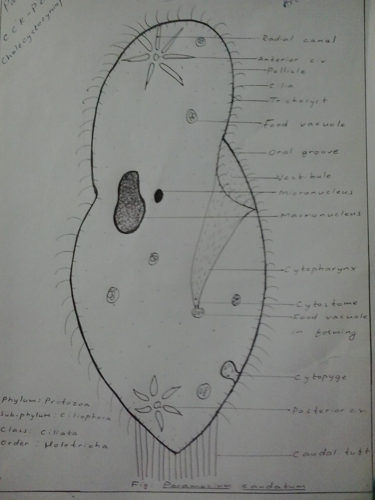 Fileparamecium caudatum hand labeledg wikimedia commons fileparamecium caudatum hand labeledg ccuart Images