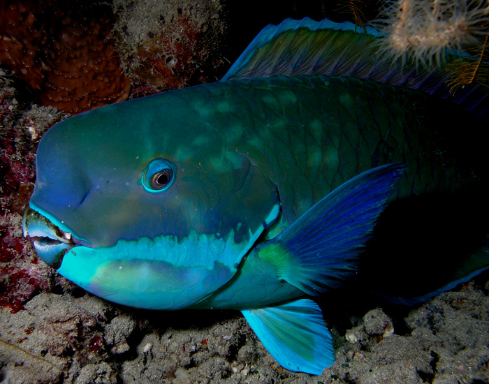English: Parrotfish (Chlorurus microrhinos) fr...