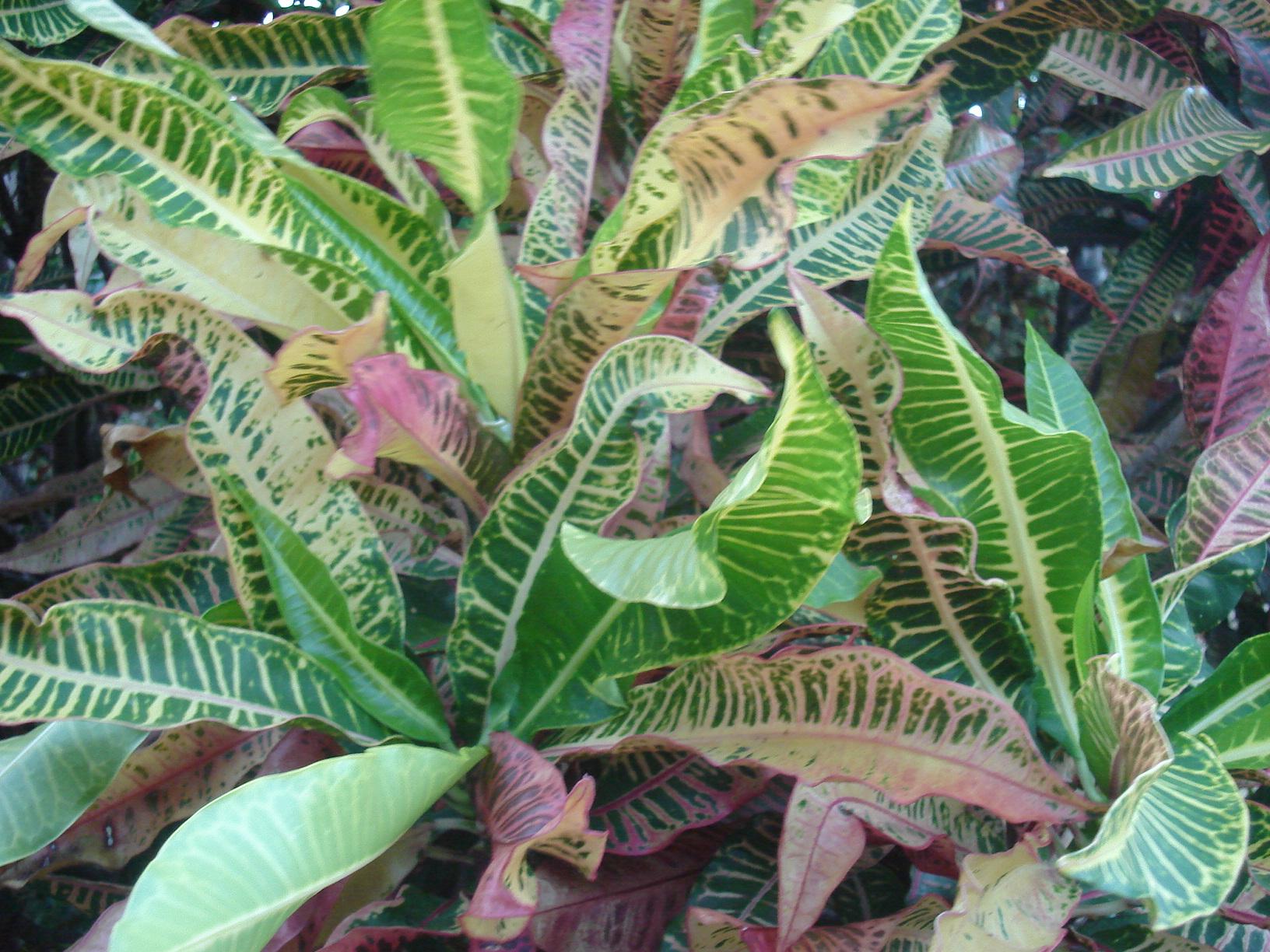 Description Planta de hojas de colores.JPG