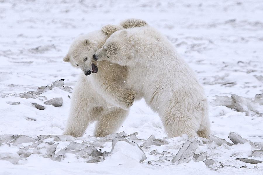 Ferocious polar bears