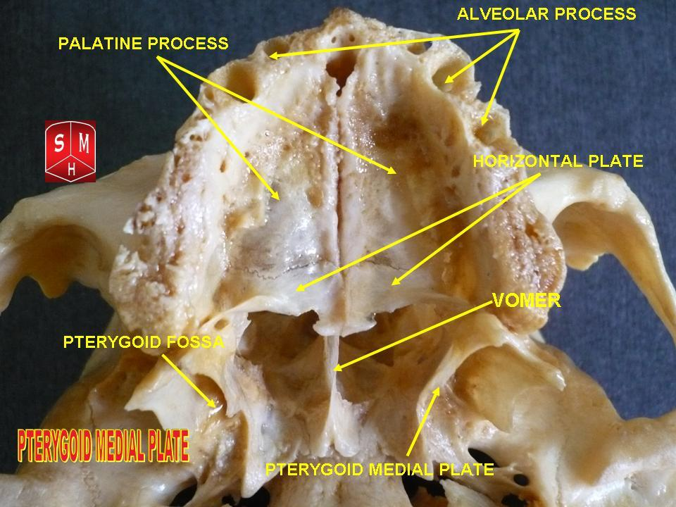 File:Pterygoid medial plate.jpg - Wikipedia, the free encyclopedia