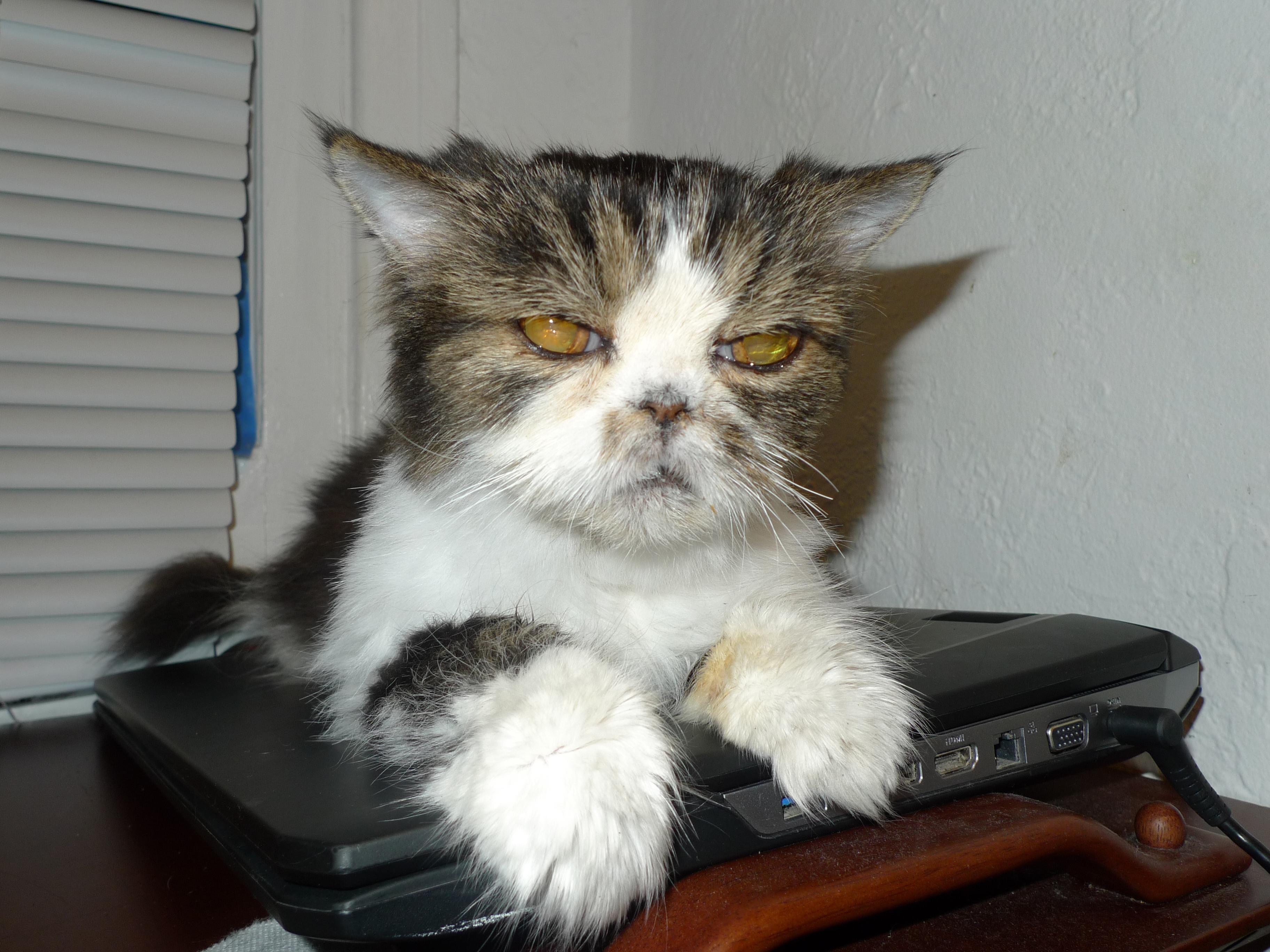 gambarpurr lexus persian kitty january 3 2015 19 years