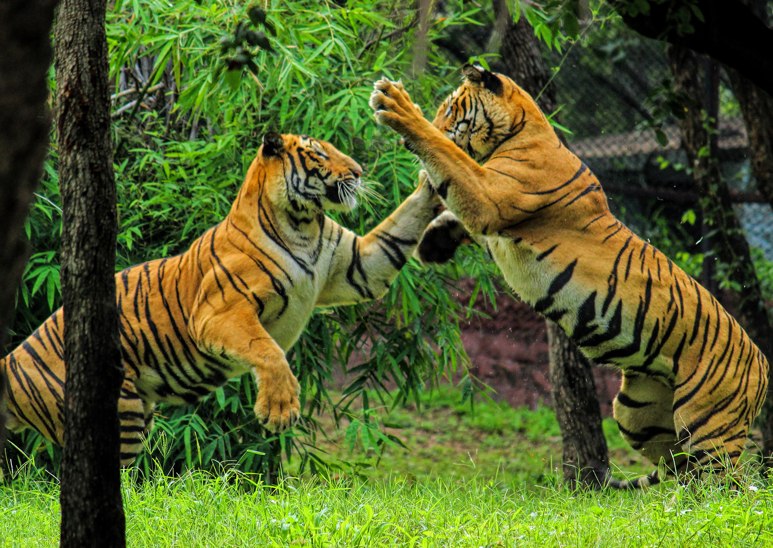 file:royal bengal tiger play - wikimedia commons